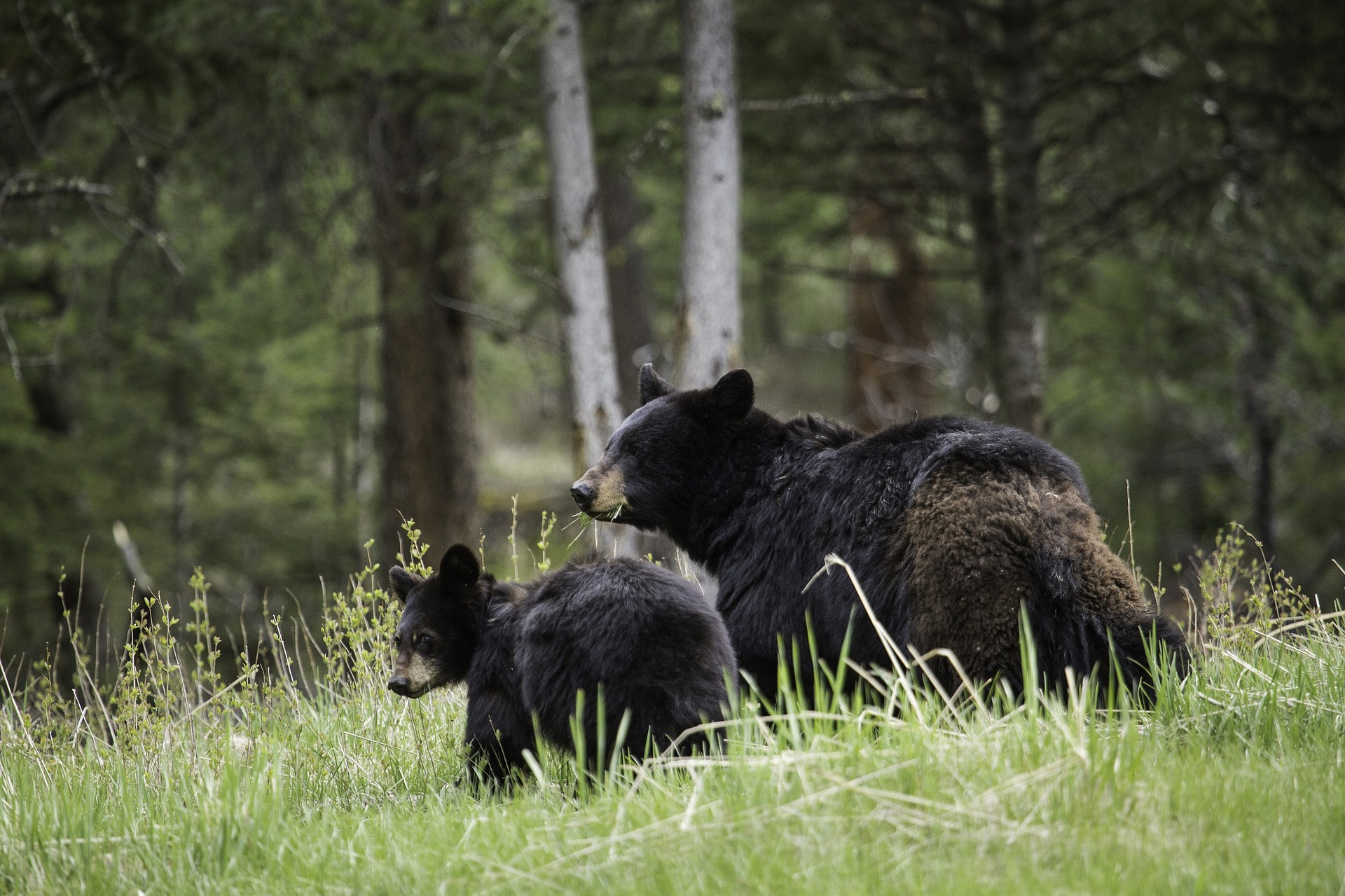 A pair of wild black bears grazing a grassy field.