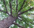 The canopy of an Overcup Oak tree.