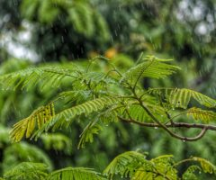 Raindrops falling on foliage.